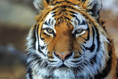Amur Tiger Tiger Wild Cat Predator Face Portrait Wallpaper