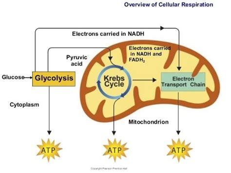 cellular respiration demo video youtube