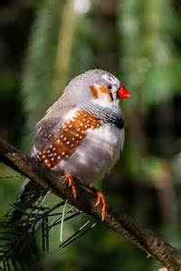 Beautiful Zebra Finches Pictures