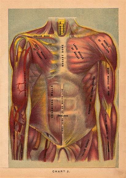 Anatomy Anatomical Animated Gifs Human Illustrations 1901