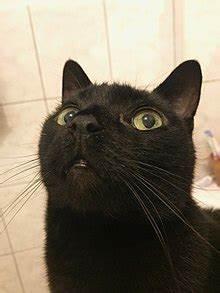 Bombay cat - Wikipedia  Domestic