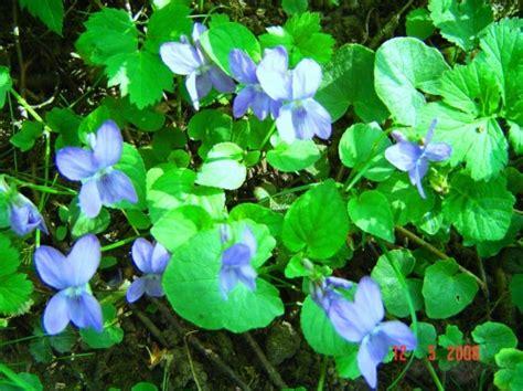 meža vijolītes... | mani ziedi | Foto.oHo.lv