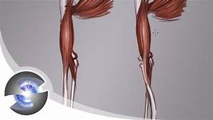 Anatomy Of The Arm And Forearm   Front View