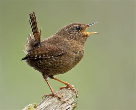 myth of the wren birdnote