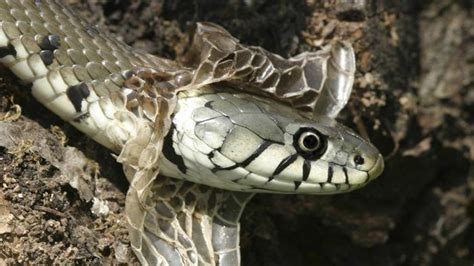 why snakes shed their skin vets help