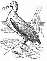 Albatross Drawing Bird Coloring Clip Reusableart Sketch Template sketch template
