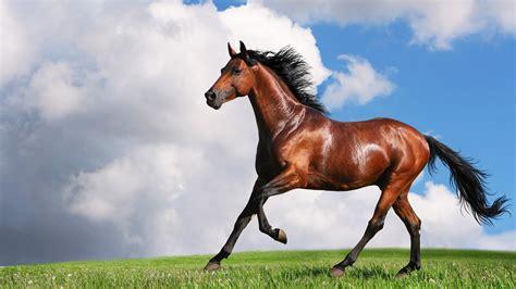 horse wallpapers horses hd animal pic running stallion pony arabian bay