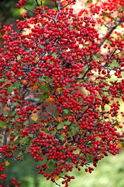 trees with berries in winter enjoy a native berry producer each winter mississippi state university extension service