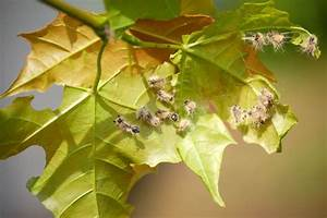 Schädlinge Zimmerpflanzen Klebrige Blätter : sch dlinge und pflanzenkrankheiten kaliebes blumenhaus ~ Lizthompson.info Haus und Dekorationen