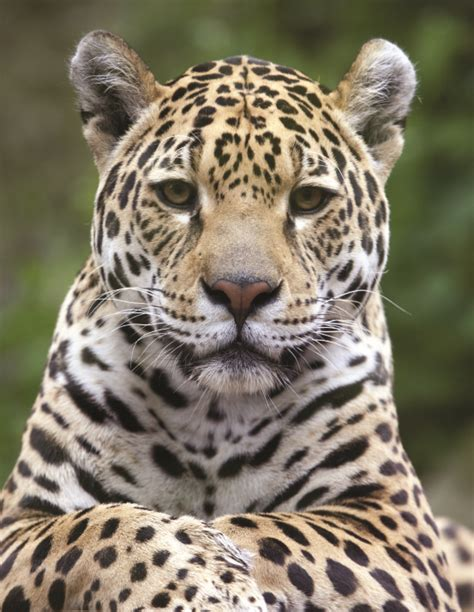 Jaguar Pics by Northern Jaguars A Decade Of Field Observations In
