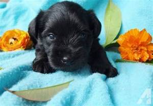 Toy Size Schnauzer Puppies for Sale
