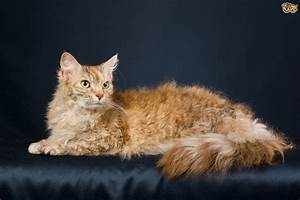 Cats La : laperm cat breed facts highlights advice pets4homes ~ Orissabook.com Haus und Dekorationen