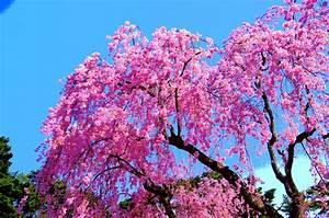 Japanische Pflanzen Winterhart : japanische zierkirsche schneiden wann wie macht man das ~ Michelbontemps.com Haus und Dekorationen