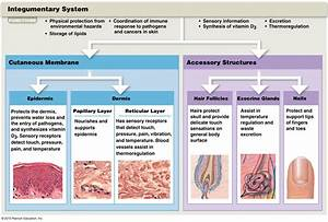 The Cutaneous Membrane And Accessory Structures