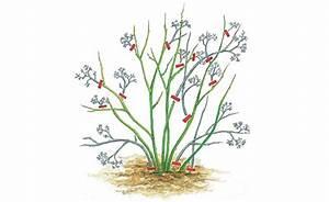 Wann Heidelbeeren Pflanzen : blaubeeren richtig schneiden garten consejos ~ Orissabook.com Haus und Dekorationen