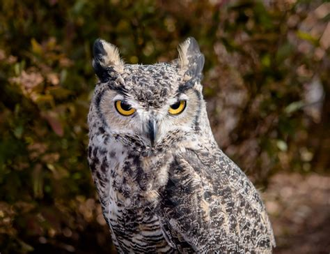 The Alberta Birds Of Prey Centre Visits Canmore Canmore