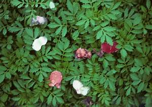 Greenhouse  U0026 Floriculture  Botrytis Blight Of Cut Flowers