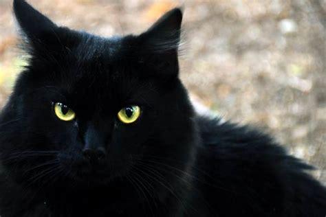 chat persan noir l animal et la religion diable et dinosoria