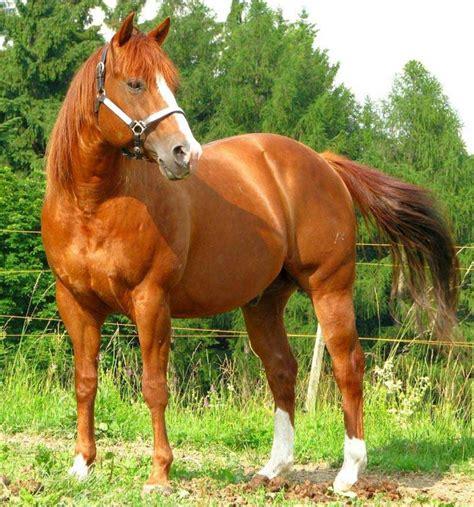 horse quarter american breeds horses most cuarto milla expensive hippolyt nutri star list cavallo caballos quarto miglio velocista facts animal