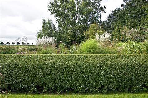 privet hedge privet hedges growing tips for ligustrum shrubs