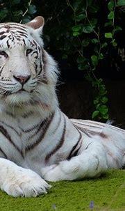 White Bengal Tiger Predator · Free photo on Pixabay