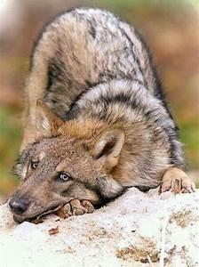 Little Wolf München : 25 best ideas about wild wolf on pinterest gray wolf what is ch and it wont stop ~ Orissabook.com Haus und Dekorationen