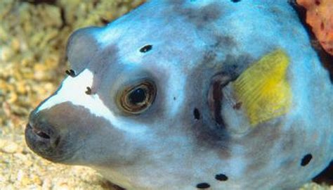 dogface puffer animals momme