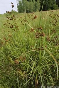 scirpus atrovirens green bulrush minnesota wildflowers