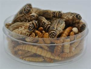 Edible Insects Bugs Kids Critters Mealworms  U0026 Crickets 5g