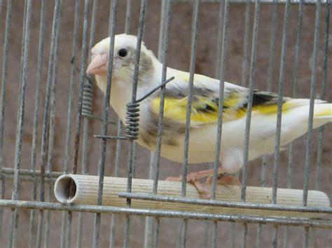 riproduzione cardellini in gabbia pappagalli in criceti out il mercato dei piccoli
