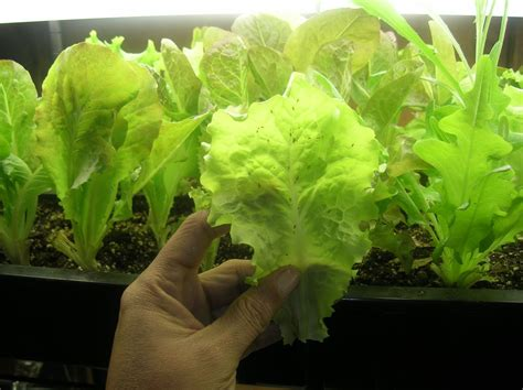 how to grow a garden how to grow lettuce indoors the garden of eaden