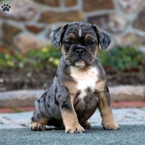 english bulldog pitbull mix puppies