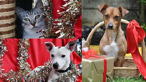 strays  christmas animal welfare leagues