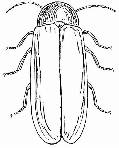 Coloring Firefly Lightning Bug Escarabajos Dibujos Psf