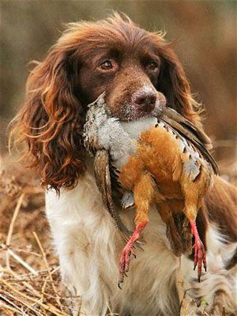 1000 ideas about hunting dogs on pinterest pointer dog