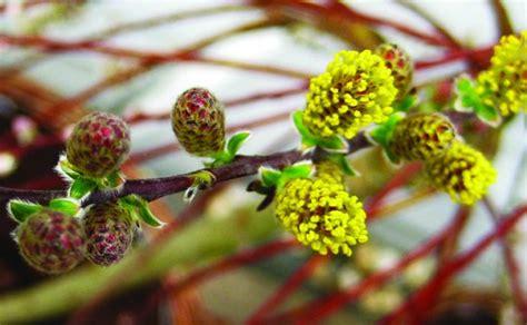 Pūpoli zied - pavasaris klāt - Dzīvo zaļi - nra.lv