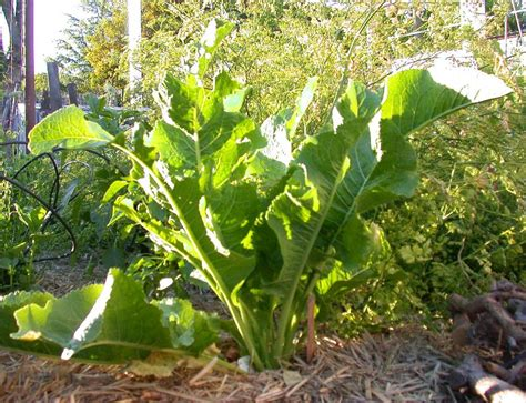 what to grow in a garden learn how to grow horseradish plants