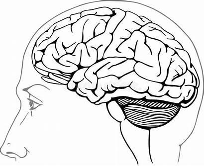 Brain Human Anatomy Drawing Aneurysm Stem Vector