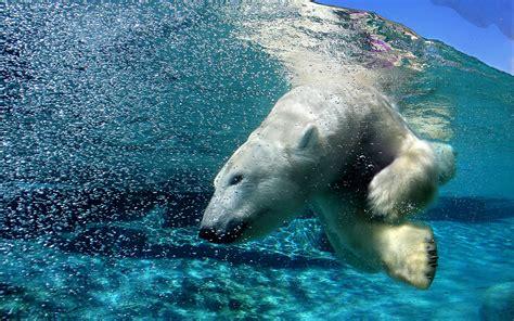Water Animal Wallpaper - polar bears animals water split view wallpapers hd