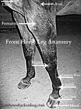 horse leg anatomy front  rear leg anatomy