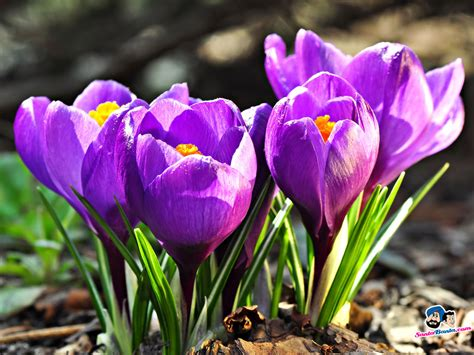 pictures of crocus crocuses wallpaper 6