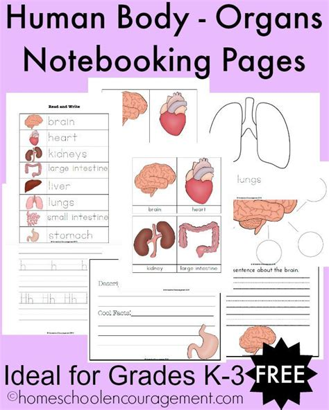 free human body organs notebooking pages for grades k 3