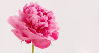 peony bouquet spotlight on peonies limited edition blooms proflowers