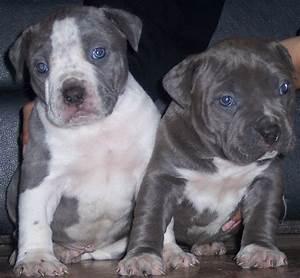American Bulldog Pitbull Mix Puppies