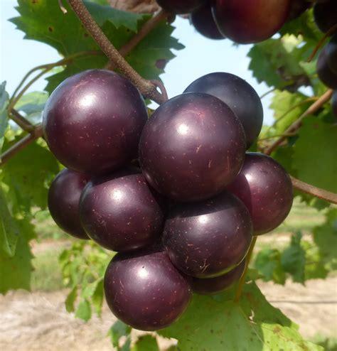 Muscadines, The Next Big Thing? - Ison's Nursery & Vineyard