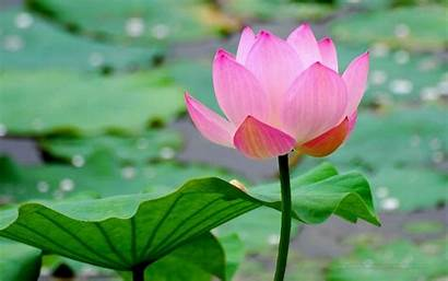 Lotus Wallpapers Flower Background Desktop Flowers Vietnam