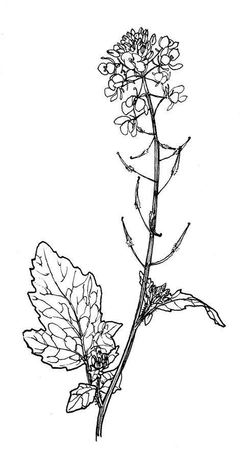 mustard seed medicinal drawing - Google Search | Mustard