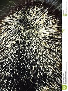 Porcupine Quills Stock Photos - Image: 9557643