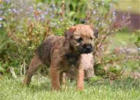 Border Terrier Non Shedding by A Review Of The Best 70 Hypoallergenic Dogs That Don T