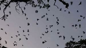 Fruit Bat (flying Fox) Colony Mass Exodus At Dusk With ...